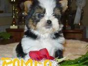 New Year Gift.100% Quality Akc Tiny Teacup Yorkie Puppies