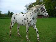 Leopard Mark Appaloosa Gelding Horses For Sale
