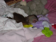 Adorable baby capuchin monkies and marmosets ready for good homes